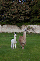 A family of Llamas now grazes in the walled kitchen garden, reputed to be one of the largest in Ireland
