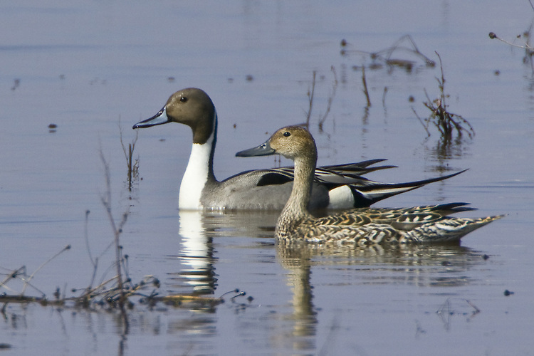 Pair of Northern Pintails swimming on a marshy pond