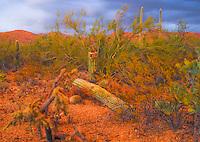 Fallen saguaro cactus fallen to the desert floor. Dark blue gray clouds in the distance.