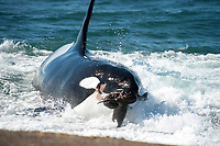orca or killer whale, Orcinus orca, attacking South American sea lion, Otaria flavescens, Peninsula Valdes, Patagonia, Argentina, South Atantic Ocean