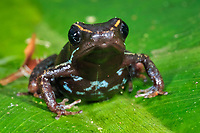 Striped Poison Dart Frog Phyllobates lugubris, Selva Verde Nature Reserve, Rio Sarapiqui region, Heredia, Costa Rica