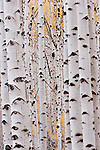 Aspens, Grand Staircase-Escalante National Monument, Utah