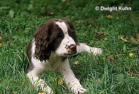 SH22-007z   Dog - English Springer puppy 11 weeks old