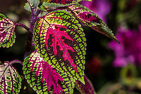 Nature Art Photograph of the leaves of the Coleus Plant that is naturally found from Africa to Asia, Australia, and the Pacific Islands. Coleuses are close relatives of peppermint, spearmint, salvia, basil, thyme, oregano, and Swedish ivy. What makes Coleus so interesting is the incredible arrays of color combinations unmatched by other species.