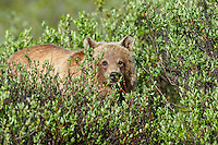 Grizzly Bear (Ursus arctos) in willows.  Banff National Park, Alberta Canada.  June.