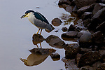 Black-crowned Night Heron (Nycticorax nycticorax), Elkhorn Slough, Monterey Bay, California