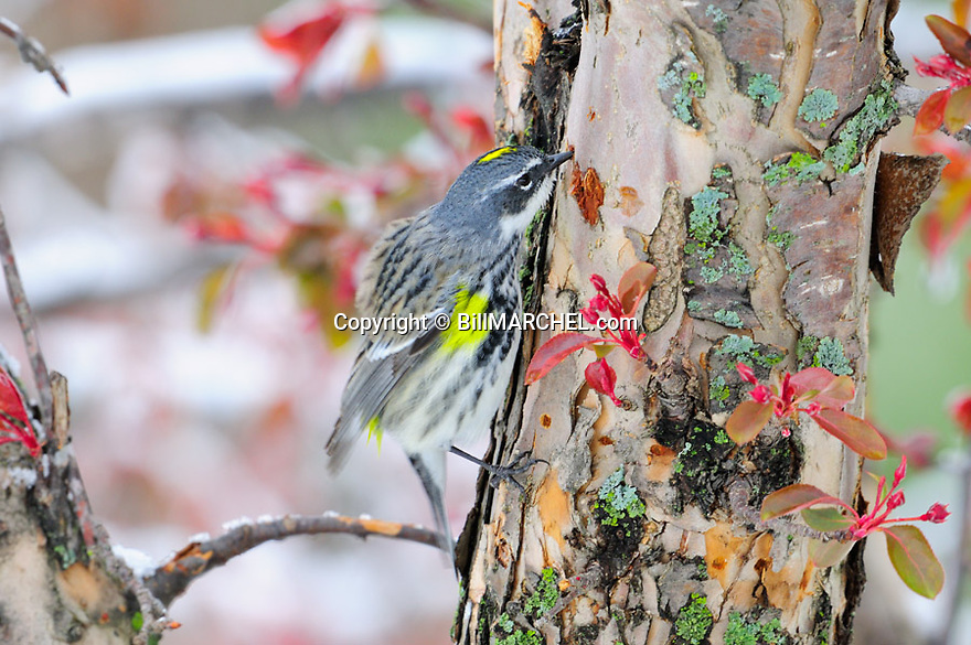 01252-005.16 Yellow-rumped Warbler on a cold spring day  sips sap from hole bored in crabapple tree by yellow-bellied sapsucker. Survive.