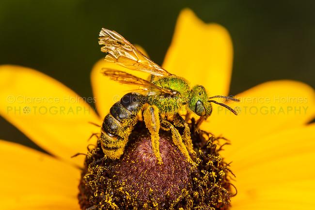 Bicolored Striped-Sweat Bee (Agapostemon virescens) - Female