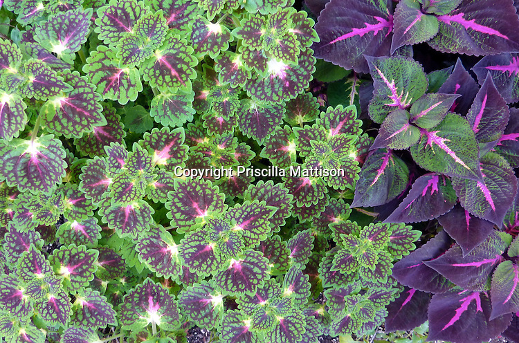 Closeup of two kinds of coleus