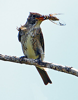 Olive-sided flycatcher with cicada