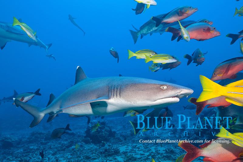 whitetip reef shark, Triaenodon obesus, Tahiti, French Polynesia, South Pacific Ocean