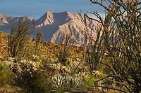 Fouquieria splendens, Ocotillo and cactus in Sonoran Desert at Anza Borrego California State Park with Coyote Mountain