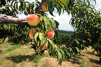 Residents and tourist pick peaches from the trees at Chiles orchard located in Charlottesville, VA.