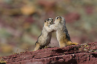 Immature Hoary Marmots (Marmota caligata) play wrestling.  Western U.S., Sept.