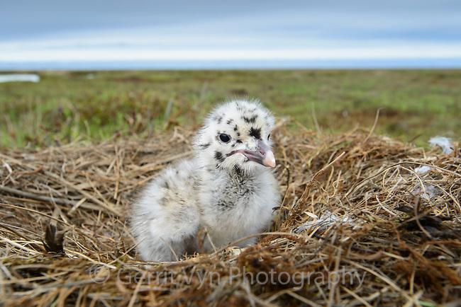 Newly hatched Glaucous Gull (Larus hyperboreus) chick. Yukon Delta, Alaska. June.