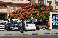Tripoli, Libya - Street Scene, Flame Tree in Bloom, Delonix Regia
