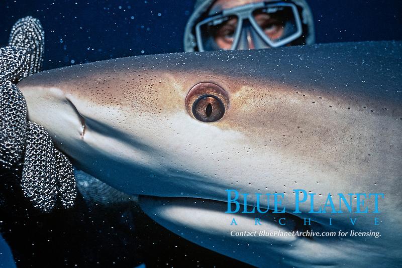 scuba diver in steel mesh suit and Caribbean reef shark, Carcharhiinus perezii, Bahamas, Atlantic Ocean