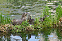 Northern River Otter (Lontra canadensis) family--mother with two pups--play on grass covered log along edge of lake.  Western U.S., summer..