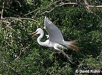 0312-0814  Flying Great Egret Displaying Breeding Plumage, Ardea alba © David Kuhn/Dwight Kuhn Photography