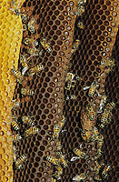 Honey Bee, Apis mellifera, bees on wild honey cone,Welder Wildlife Refuge, Sinton, Texas, USA, May 2005