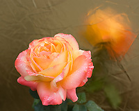Apricot rose with morning dew and golden reflection