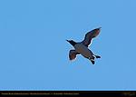 Common Murre in Flight, Thin-billed Murre, Common Guillemot, Duck Island, Puffin Island, Tuxedni Bay, Cook Inlet, Alaska