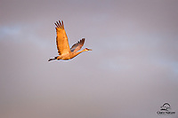 Beautiful morning light bathes this Sandhill Crane (Grus canadensis) as it soars over a pond.  Bosque del Apache National Wildlife Refuge, New Mexico.