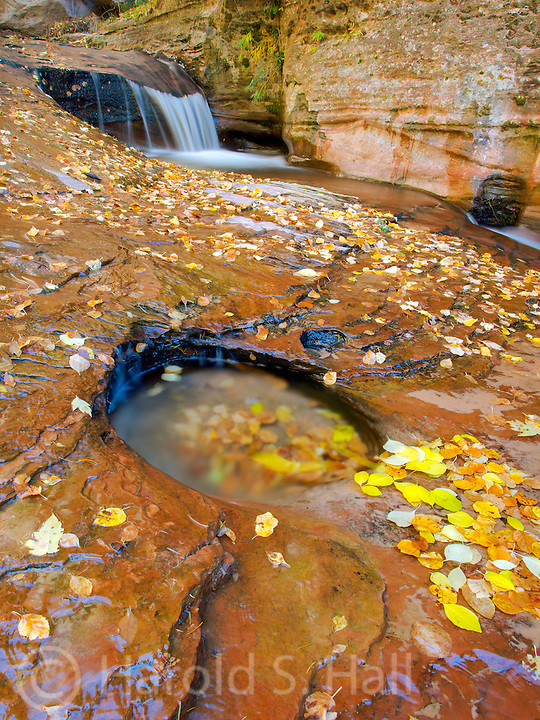 Brilliant fall colors of reds and yellow are displayrea of the  long hike into the Subway.ed in Zion National Park in Utah.  This is in the a