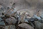 Chukars (Alectoris chukar), Hemis National Park, Ladakh, India