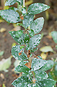 Powdery mildew on goji berry or wolfberry foliage, late September.
