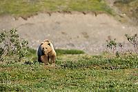 Grizzly bear in Atigun Canyon of the Brooks Range, Alaska