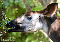 0605-1106  Okapi, Eating Leaves off Branch, Okapia johnstoni  © David Kuhn/Dwight Kuhn Photography
