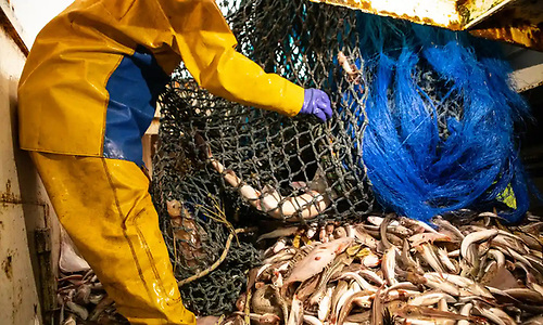 For pelagic species, including Mackerel, Arctic herring and Blue Whiting, the full twelve-month quotas has been agreed by Council.