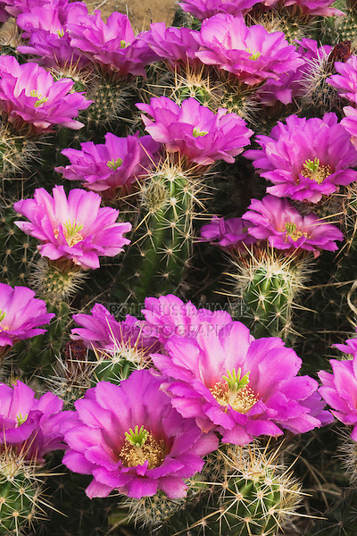 Strawberry Hedgehog Cactus (Echinocereus enneacanthus),blooming, Rio Grande Valley, South Texas, USA