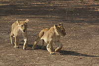 Lion Cubs hanging out and playing together in the Okavango Delta, Botswana Africa,