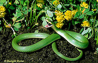 1R04-112z  Smooth Green Snake - in garden - Opheodrys vernalis