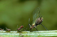 1A03-013z   Aphid - winged adult female and offspring (parthenogenesis) sucking juices from plant -  Dactynotus spp. Dactynotus spp.
