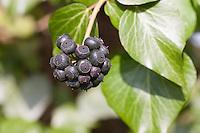 Efeu, Frucht, Früchte, Hedera helix, Common Ivy, English Ivy, fruit, Lierre grimpant
