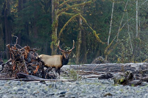 Roosevelt Elk Bull (Cervus canadensis roosevelti) on river bar.  Pacific Northwest.  Late October.
