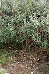 PINEAPPLE GUAVA FEIJOA SELLOWIANA NAMETZ FALLEN FRUIT ON GROUND