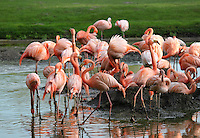 Stock image of flamingo group near a a small pond in tier park Berlin.<br /> <br /> For editorial use only.