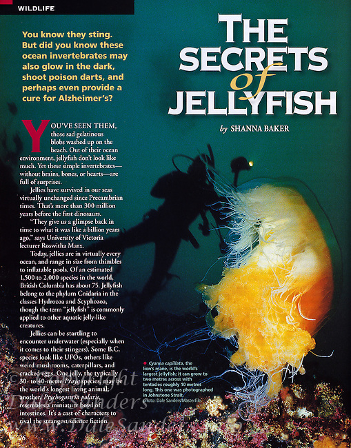 BRITISH COLUMBIA Magazine Jellyfish Article - featuring a diver and Lion's Mane Jellyfish.