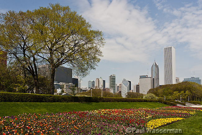 Tulips along Chicago's Lakeshore Drive at Buckingham Fountain