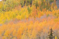 Mixed aspen colors near Wetterhorn trailhead