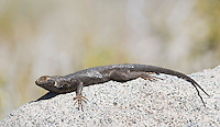 Western fence lizard, Sceloporus occidentalis, in Saline Valley, Death Valley National Park, California