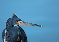 Close view of head and neck of a Tricolored Heron in profile with feathers ruffled