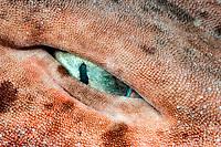 eye of draughtsboard shark or blotchy swell shark, Cephaloscyllium isabellum or umbratile