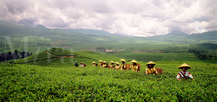 Tea plantation in Central Java, Indonesia.  Row of pickers in foreground.