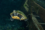 Ginnie Springs, Cooters Turtle, Pseudemys suwanniensis, Freshwater turtle with algae