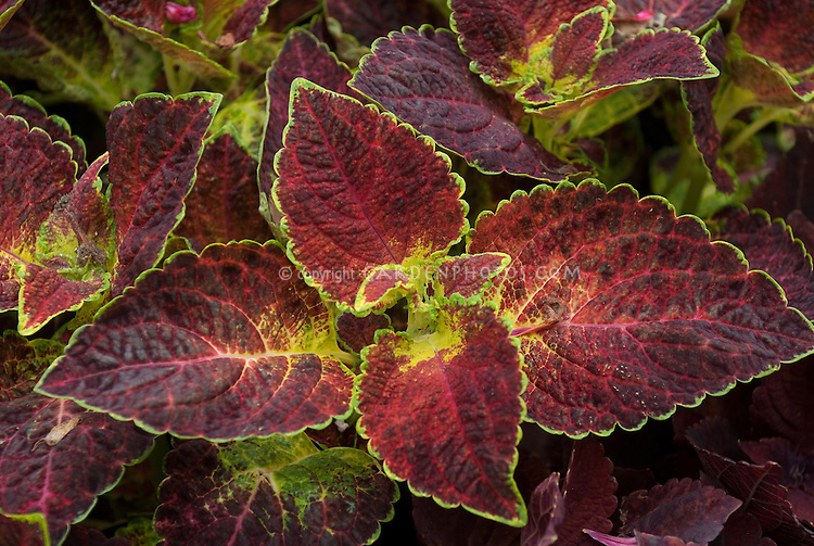 Solenostemon 'Dipped in Wine' (Coleus), annual foliage plant with red purple leaves edged in yellow gold , ornamental leaves with colorful accents